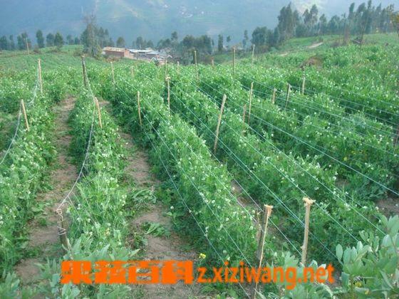 果蔬百科豌豆