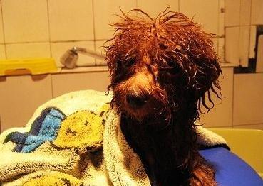 狗狗为什么会在洗澡之前藏起来